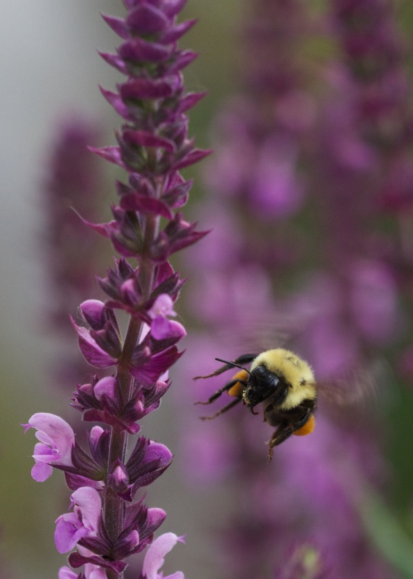 Bumblebee approaches a Salvia spike