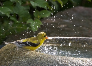 American Goldfinch Takes a Bath