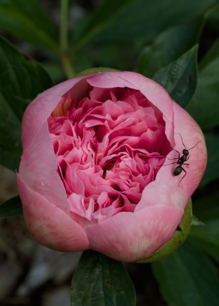 Herbaceous peony 'etched salmon'