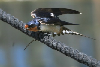Barn Swallow Stretch