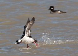 Bufflehead takes flight