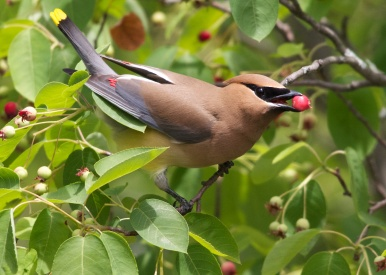 Cedar Waxwing feeds on serviceberries
