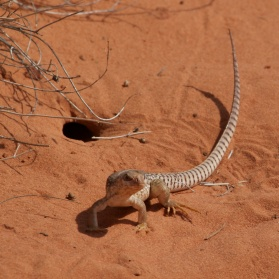 Desert iguana emerges from its burrow