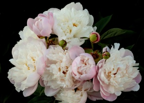 Herbaceous Peony Cluster