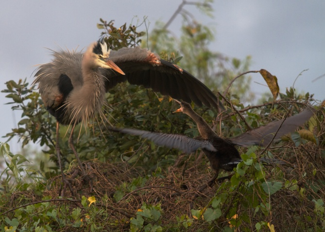 Anhinga defends its nest from a Great Blue Heron