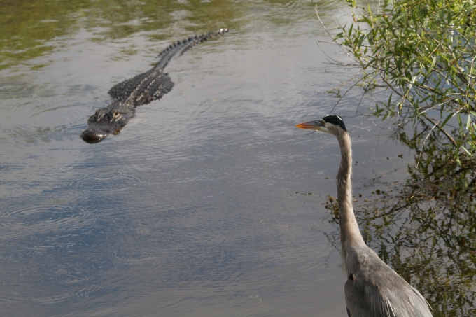Alligator stalking a Great Blue Heron