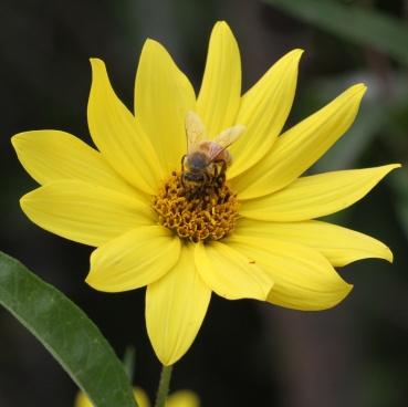 Honeybee on prairie sunflower