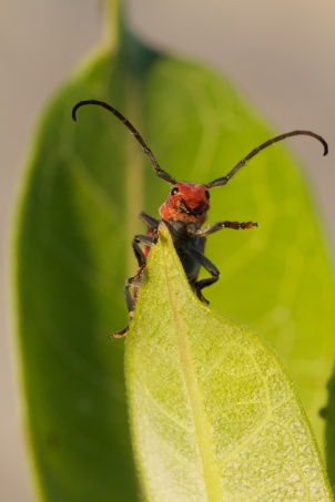 Milkweed Bug Waves Hello