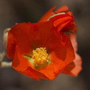 Globe Flower Closeup