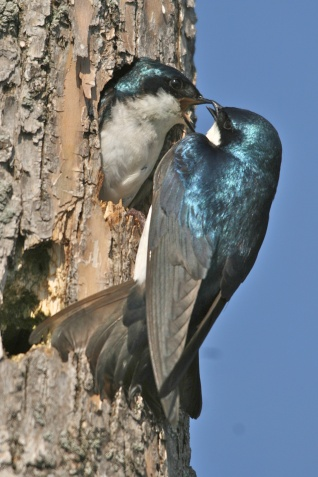 Tree Swallow Feeds its Mate