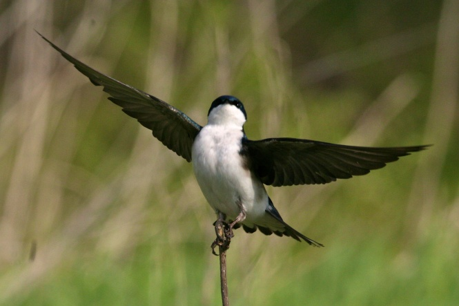 Tree Swallow Takes Flight