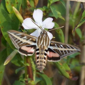 White-lined sphinx moth (Hyles lineata), Wind Point, WI