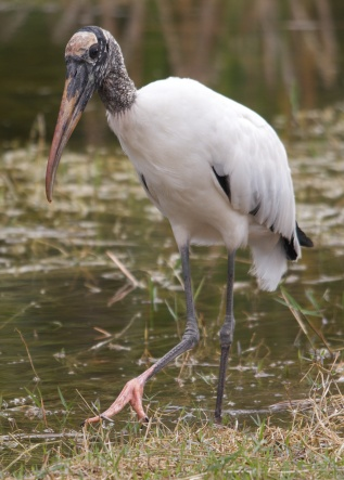 Wood Stork, Big Cypress NWA