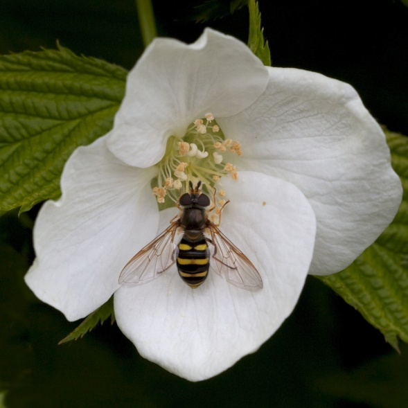 Syrphid Fly on Dogwood Bloom