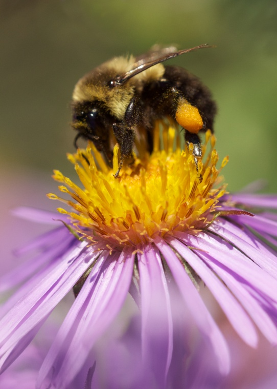 Bumblebee on wild aster, Boerner Botanic Garden, Milwaukee, WI