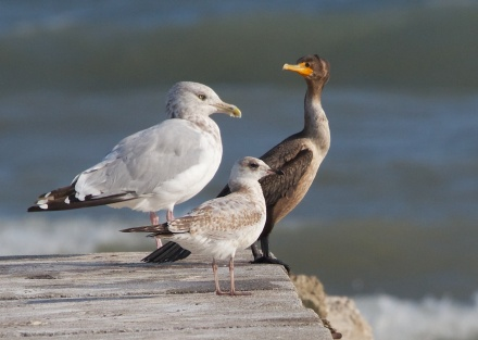 Three iconic Lake Michigan birds