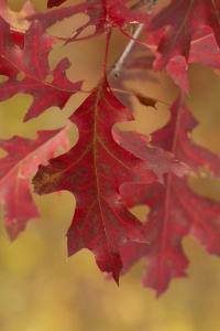 Pin oak fall color, Lulu Lake, East Troy, WI