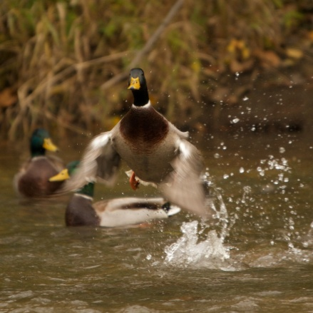 Mallard takeoff, Root River, Racine, WI