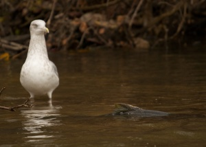 Wishful thinking - herring gull stares down a brown trout, Root River, Racine, WI