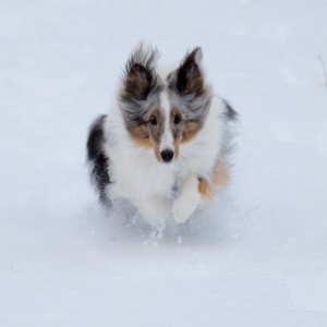 Zeke leaping through snow